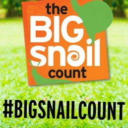 big snail count